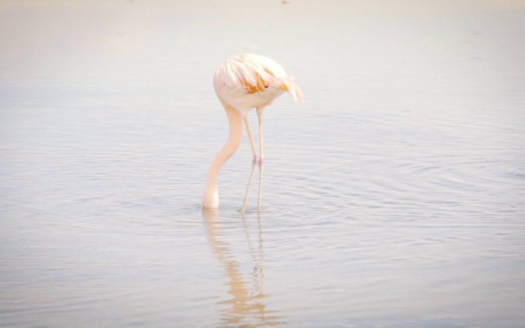 O Flamingo – El Flamenco  – Laguna Chaxa – Salar de Atacama – Chile