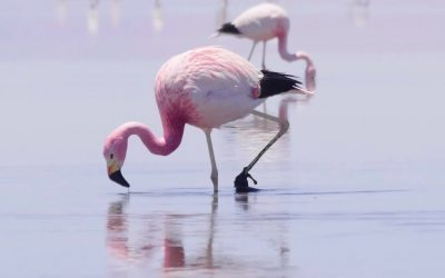 Flying flamingos, Atacama, Chile