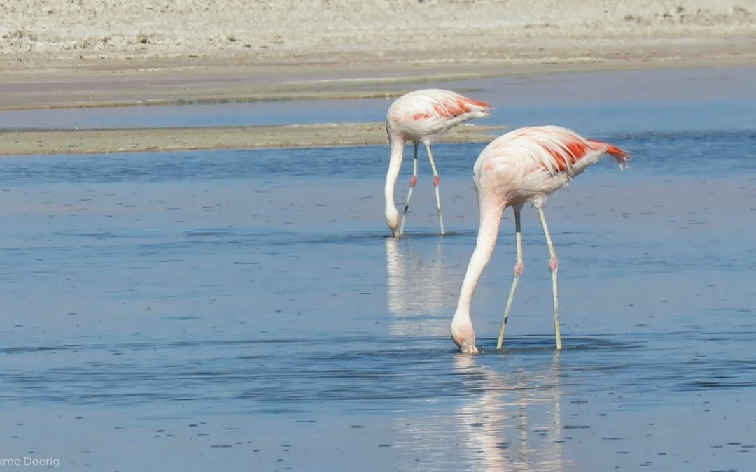Chilean Flamingo – Atacama Desert, Chile – April 2018
