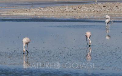 Andean and Chilean Flamingo in Atacama Salar