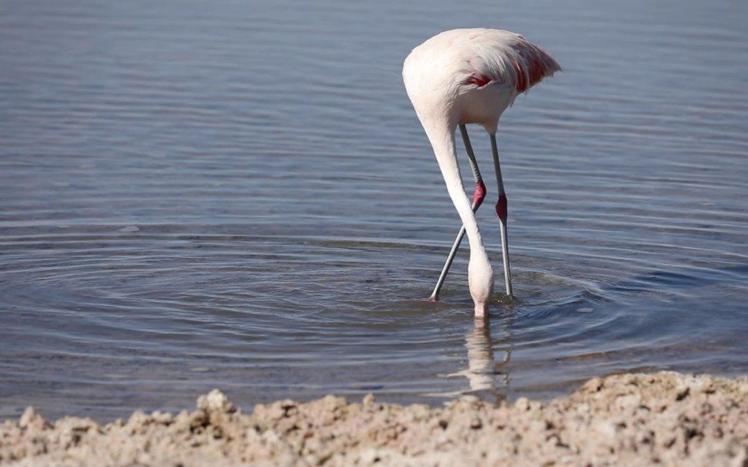 Chilean Flamingo Chaxa Lagoon Atacama Desert