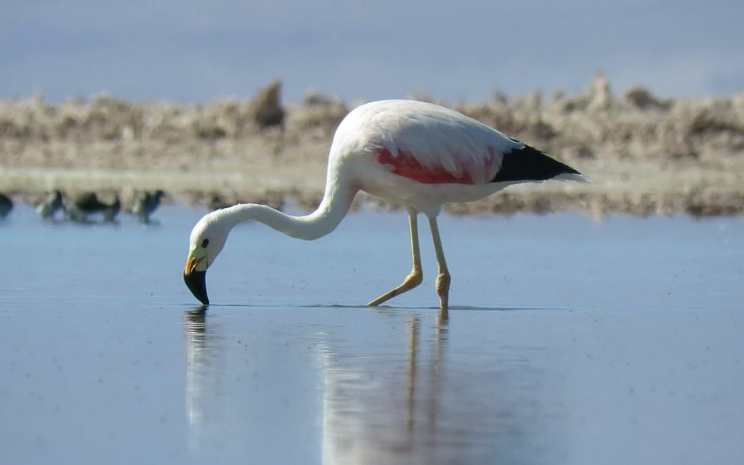 beautiful andean flamingo! – Atacama, Chile, April 2018